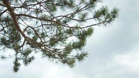 Branche de pin sur le fond de ciel bleu et nuageux ci-dessus barre Fermez-vous pour les épines vertes de pin sur la branche d'arb banque de vidéos