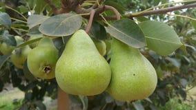 Branche de poire Images stock