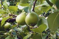 Branche de poire avec des fruits et des feuilles Image stock