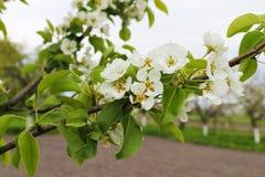 Branche de poire avec les fleurs blanches au printemps photos stock