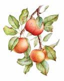 Branche de pomme d'aquarelle photos libres de droits