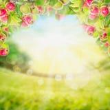 Branche de pommes avec des feuilles au-dessus de jardin Image libre de droits