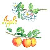Branche de pommes avec des fleurs et des fruits illustration de vecteur