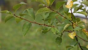 Branche de pommier Photographie stock libre de droits