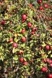 branche de pommier avec des pommes Images libres de droits