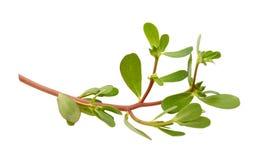 Branche de pourpier (oleracea de Portulaca) Photo stock