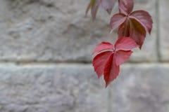 Branche de premiers raisins, connue sous le nom de plante grimpante de Virginie photos libres de droits