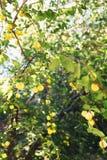 Branche de prune de cerise jaune dans le verger sur le fond de lumière du soleil Photo stock
