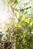 Branche de prune de cerise jaune dans le verger sur le fond de lumière du soleil Image stock