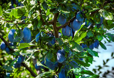 Branche de prunier Photos stock
