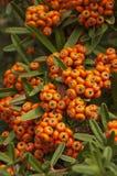 Branche de Pyracantha Photos stock