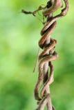 Branche de raisin de rampement Photographie stock libre de droits