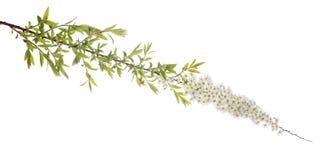 Branche de ressort avec de petites fleurs blanches Images libres de droits