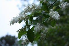 Branche de ressort des fleurs Image libre de droits