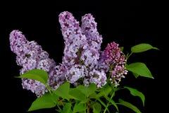 Branche de ressort du lilas de floraison, lilas sur le fond noir Photos libres de droits