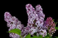 Branche de ressort du lilas de floraison, lilas sur le fond noir Photo stock