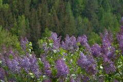 Branche de ressort de lilas de floraison, forêt de fond Photographie stock