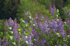 Branche de ressort de lilas de floraison, forêt de fond Photo libre de droits