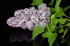 Branche de ressort de lilas de floraison, réflexion de lilas en verre noir Photographie stock libre de droits