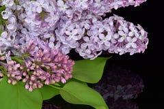 Branche de ressort de lilas de floraison, réflexion de lilas en verre noir Photographie stock