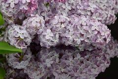 Branche de ressort de lilas de floraison, réflexion de lilas en verre noir Image libre de droits