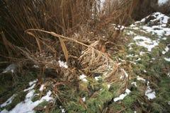 Branche de roseau de glace image libre de droits