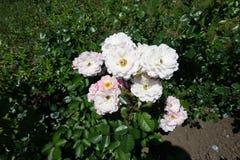 Branche de rosier avec pâle - fleurs semi-doubles roses images libres de droits