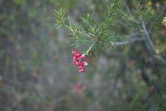 Branche de rosmarinifolia de Grevillea avec des fleurs photographie stock libre de droits