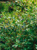 Branche de Sambucus sur l'arbre Baies bleues Photos libres de droits