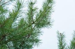 Branche de sapin Image stock