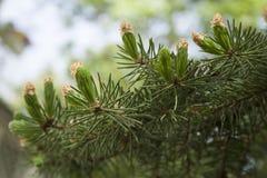 Branche de sapin Photo stock