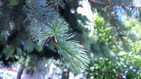 Branche de sapin bleu au printemps image libre de droits