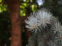 Branche de sapin bleu dans la forêt Images libres de droits