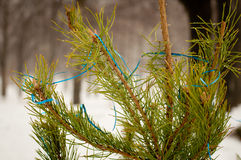 Branche de sapin dehors en hiver Images stock