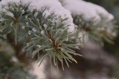 Branche de sapin sous la neige et avec la fin de glace  image stock