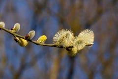 Branche de saule avec des aments d'ouverture Photos stock