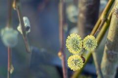 Branche de saule de chat avec les chatons de floraison comme symbole de ressort Image stock