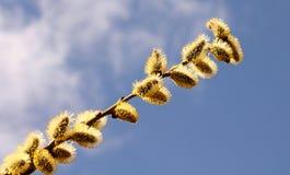 Branche de saule de chat contre le ciel bleu image libre de droits