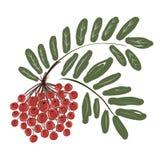 Branche de sorbe avec des baies pour votre conception illustration stock