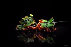 Branche de sorbe sur une table noire image stock