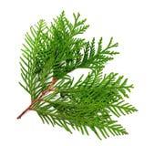 Branche de thuja Image stock