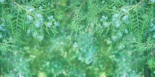 Branche de Thuja en macro plan rapproché photos stock