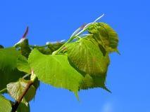 Branche de tilleul Photo stock