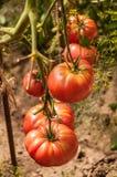 Branche de tomate Photographie stock