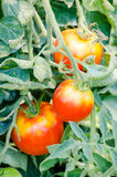 Branche de tomates Photo stock