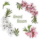 Branche de vecteur avec les couleurs blanches et roses de clipart de fleurs d'amande illustration de vecteur