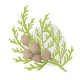 Branche de vecteur de Cypress illustration stock