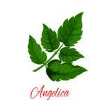 Branche de vert de plante d'angélique officinale ou de céleri sauvage illustration stock