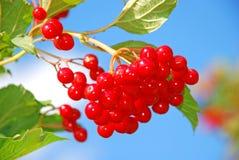 Branche de viburnum mûr Images stock