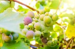Branche de vigne photo stock